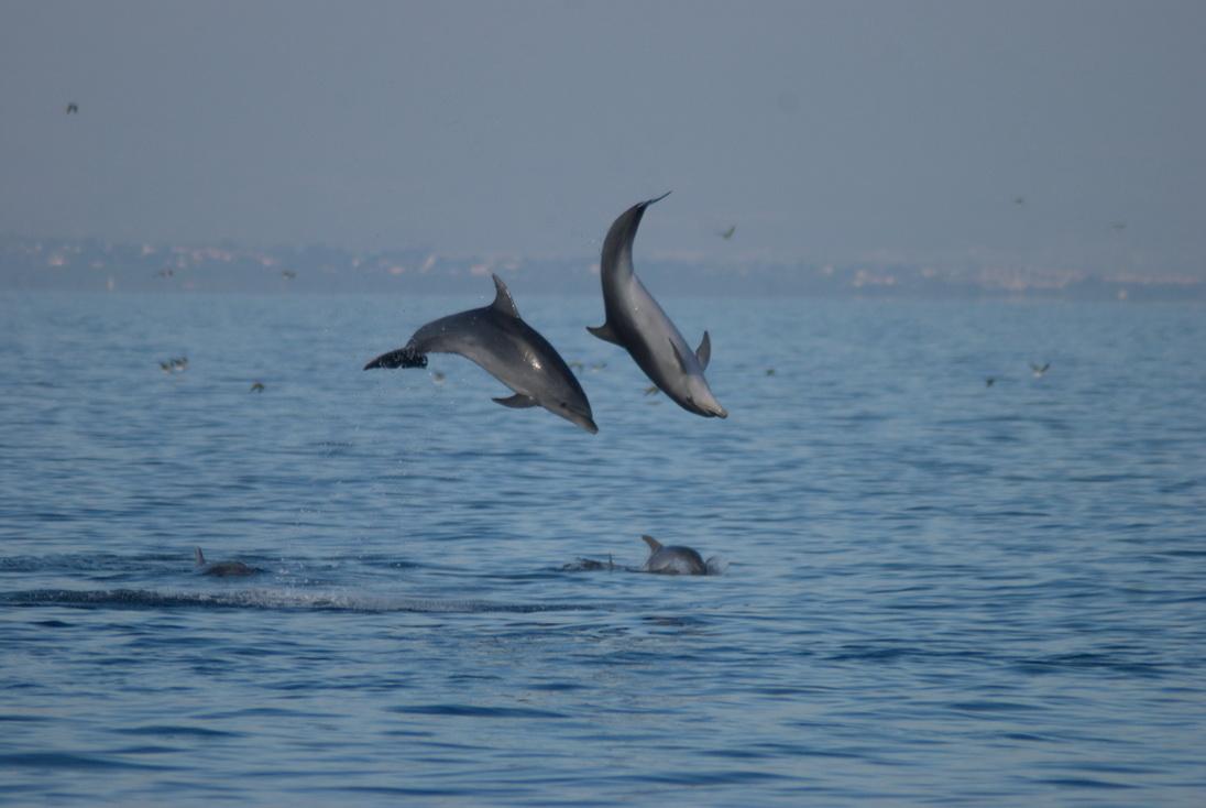 Espectacular salto de dos delfines mulares frente a Guardamar de Segura (J. L. Murcia/ANSE)