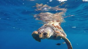 Fotograma de un vídeo submarino de tortuga boba acompañada de dos peces piloto (J.L. Murcia/ANSE).