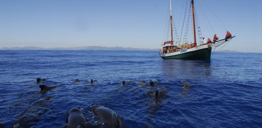 El Else navegando junto a un grupo de calderones