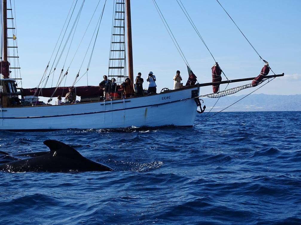 Uno de los calderones comunes marcados nadando en paralelo al Else momentos después del marcaje (Pedro García/ANSE).