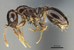 nueva especie de hormiga descubierta en el Sureste de la Península Ibérica. Chema Catarineu/ANSE