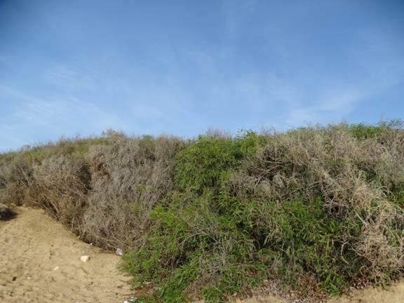acacias_invadiendo_duna