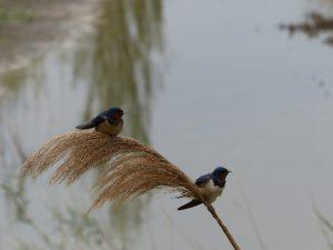 BarnSwallows - copia