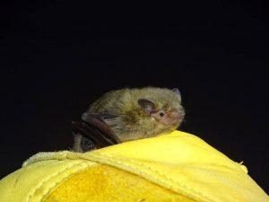 Murciélago Pipistrellus