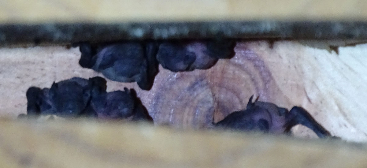 Cachorros de murciélagos en Calasparra