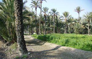 palmeras datileras