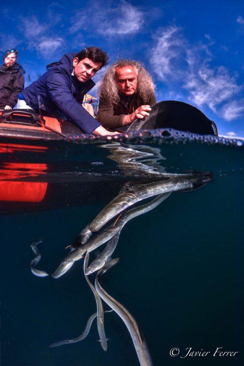 Liberación anguilas
