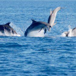 delfines mulares