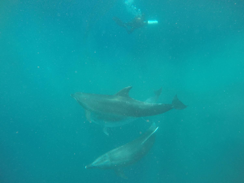 Liberados tres delfines en la Azohía