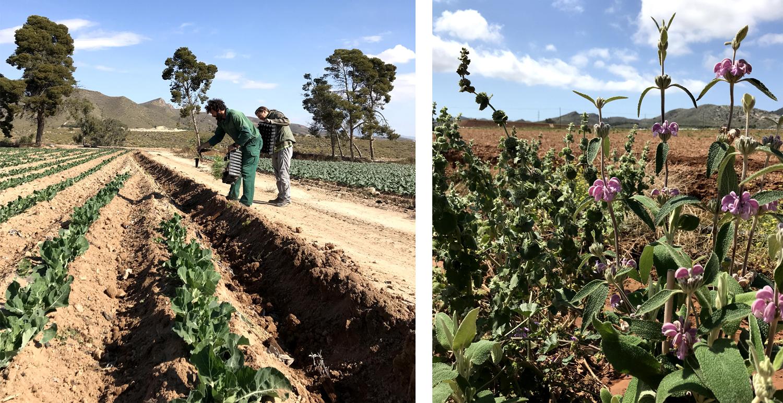 Plantación de seto en cultivo de brócoli y seto en floración.