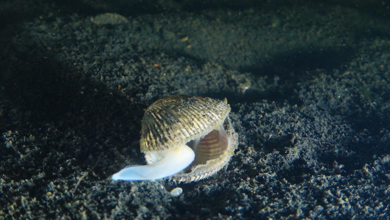 Berberecho muerto Mar Menor