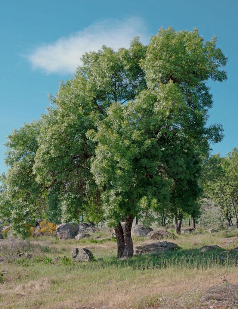 Fresno Fraxinus angustifolia-Luis-Fernandez-Garcia-wikimedia